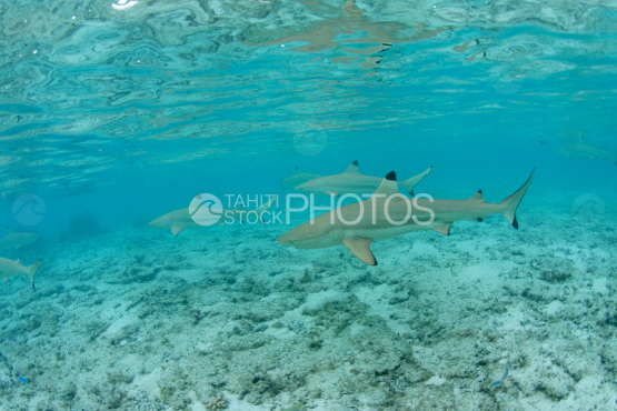 black tip shark in the lagoon of bora bora