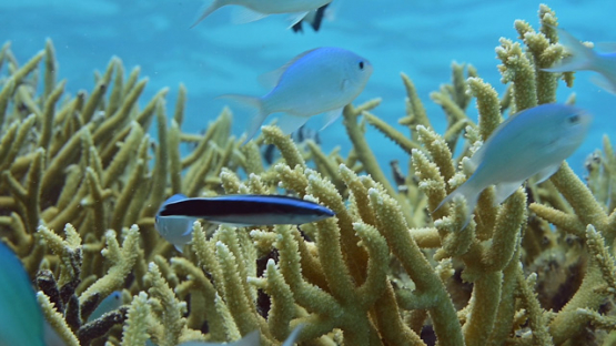 Damsel fishes in the branch coral, Acropora cervicornis