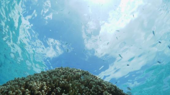 Tahiti, Blue neon damsel fish evolving around brown pinnacle of coral in the lagoon, 4K UHD