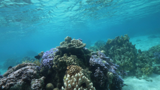 Tahiti, Coral garden in the clear water of the lagoon, porites, 4K UHD