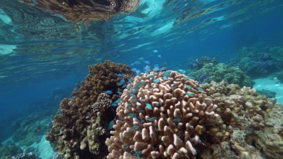 Tahiti, Neon damsel fishes over acropora coral and seaweed, 4K UHD