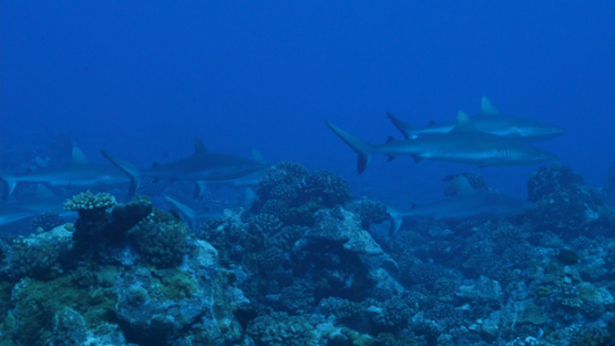 Tahiti, group of grey sharks over the coral reef, 4K UHD