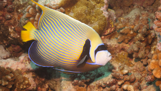 Fakarava, Pomacanthus imperator, Emperor angelfish evolving over the coral garden, 4K UHD