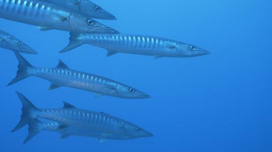 Rangiroa, barracudas schooling in the blue, 4K UHD