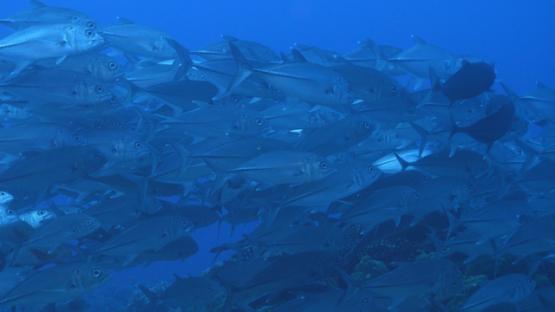 Fakarava, big eye jackfish schooling over the coral reef, 4K UHD