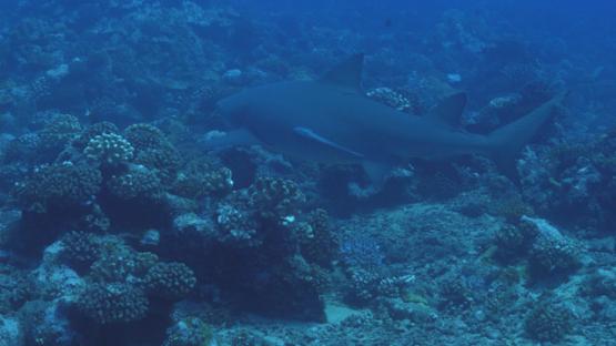 Fakarava, Lemon shark over the coral reef, 4K UHD