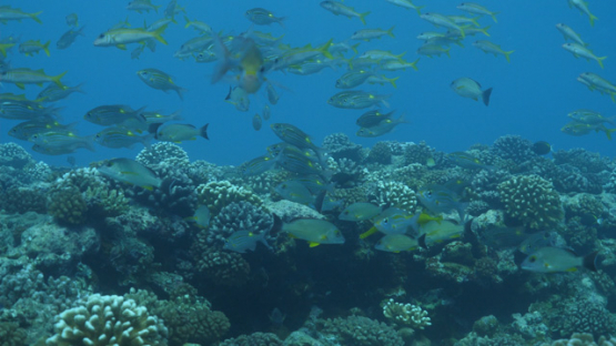 Fakarava, snappers schooling over the coral reef, 4K UHD
