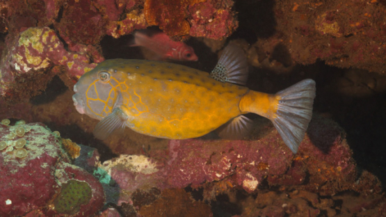 Fakarava, Ostracion cubicus, orange boxfish under corals, at night, 4K UHD