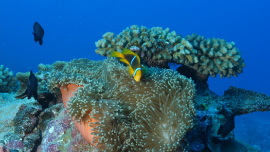 Fakarava, Couple of Clown fishes in the sea anemone, 4K UHD