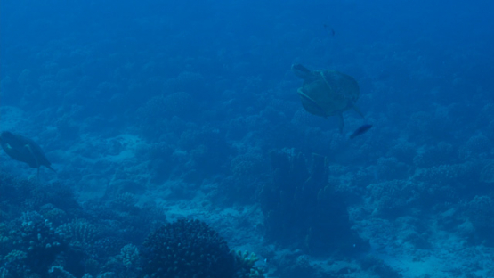 Tahiti, parade of two green turtles over the coral reef, 4K UHD