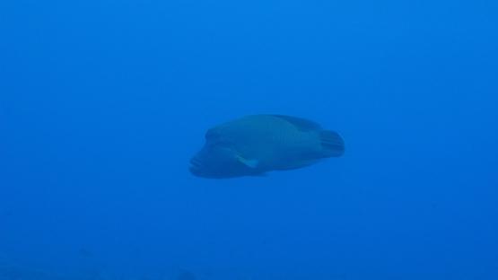 Rangiroa, Cheilinus undulatus or Napoleon wrasse swimming in the deep blue, 4K UHD