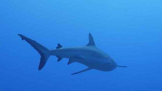 Fakarava, Single grey shark in the deep blue, 4K UHD