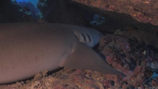Fakarava, nurse shark resting under pinnacle of coral, 4K UHD
