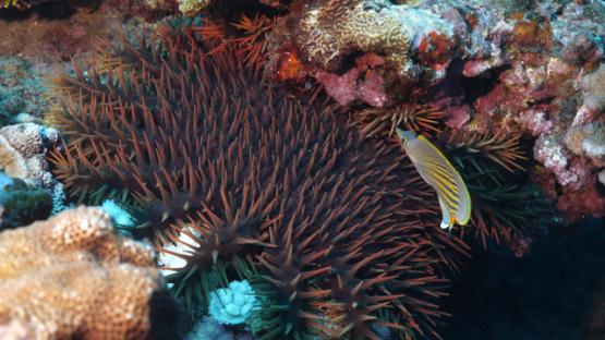 Fakarava, Crown of thorns starfish on the corals, Acantasther planci, 4K UHD