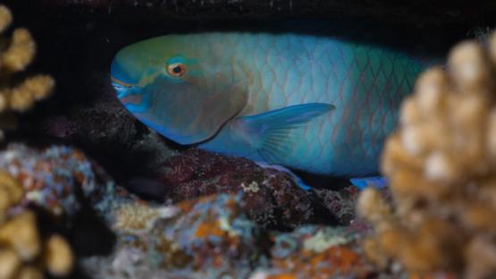 Fakarava, Parrot fish at night under coral, 4K UHD