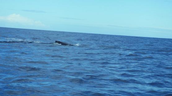 Tahiti, humpback whales, calf splashing the surface with its caudal fin, 4K UHD