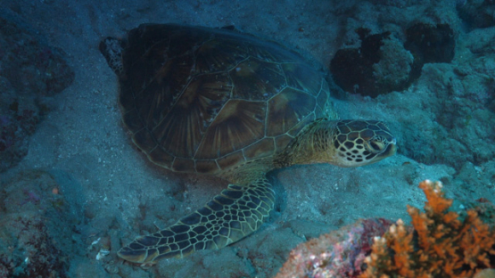 Tahiti, green turtle resting on the white sand of the reef, 4K UHD