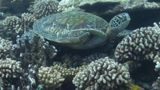 Tahiti, green turtle resting on the acropora coral reef, 4K UHD