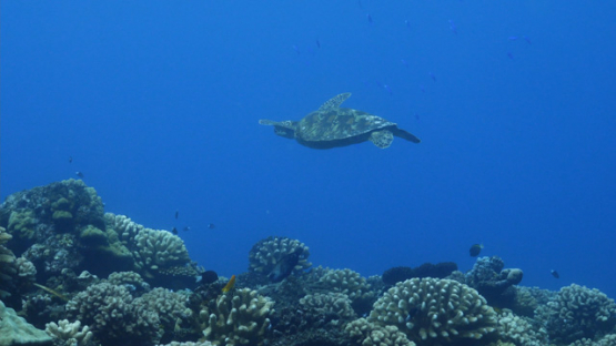 Tahiti, green turtle swimming over the coral reef, 4K UHD