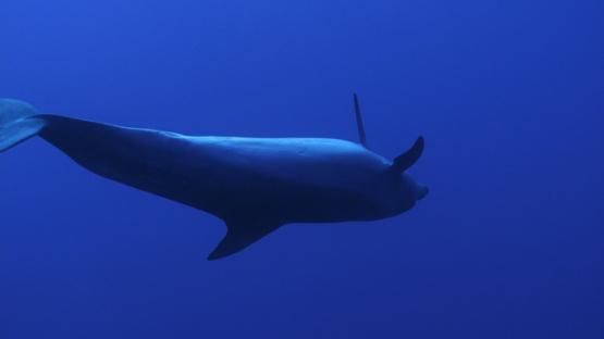 Rangiroa, Dolphin tursiops swimming upside down, 4K UHD