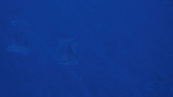Rangiroa, spotted Eagle rays schooling at the entry of Tiputa pass, 4K UHD