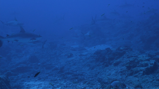 Rangiroa, Grey sharks group in the pass, 4K UHD