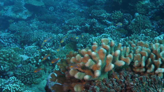 Tropical fishes and acropora coral, 4K UHD