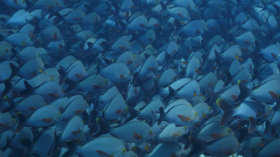 Fakarava, school of red paddletail snappers in the pass, 4K UHD