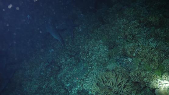 Fakarava, Group of grey sharks hunting at night, 4K UHD