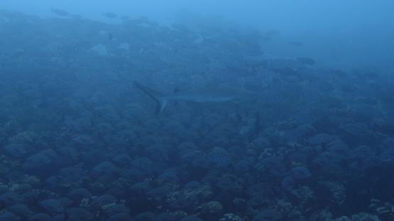 Fakarava, Grey shark swimming along a large school of red paddle tails snappers, 4K UHD