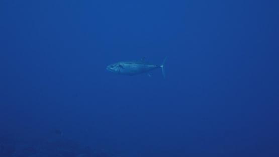 Fakarava, Dog tooth tuna or Gymnosarda unicolor swimming in the deep blue, 4K UHD