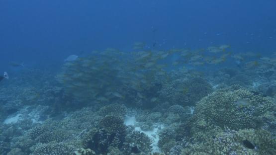 Fakarava, black spot orange snappers schooling over the coral reef, 4K UHD