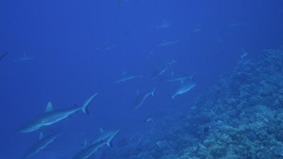 Fakarava, group of grey sharks in the pass, 4K UHD