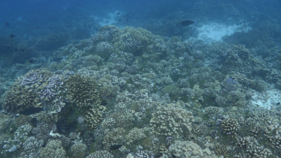 Fakarava, drifting along the coral reef in the pass, 4K UHD