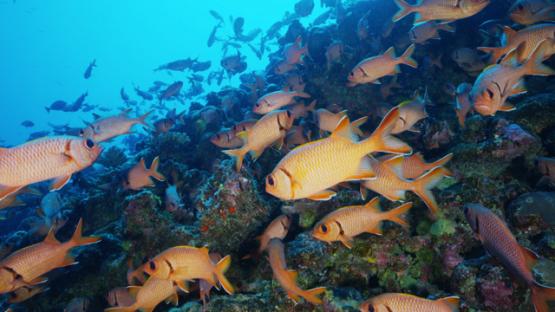 Tikehau, Blotcheye Soldierfishes over the coral reef, Myripristis murdjan, 4K UHD
