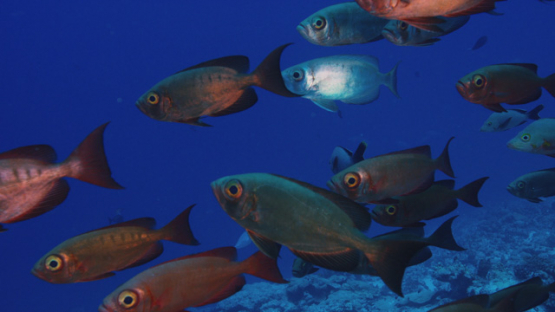 Tikehau, big eye priacanthus group of fishes over the coral reef, 4K UHD