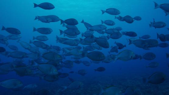 Tikehau, grey naso schooling over the coral reef, Naso Hexacanthus, 4K UHD